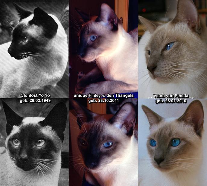 siamesen katzen kaufen